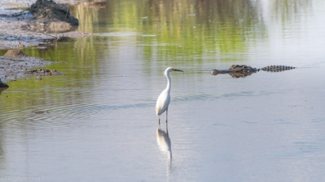 Working His Way Over, Alligator - click to enlarge