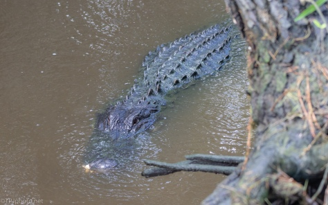 By An Old Rice Field Trunk, Alligator - click to enlarge