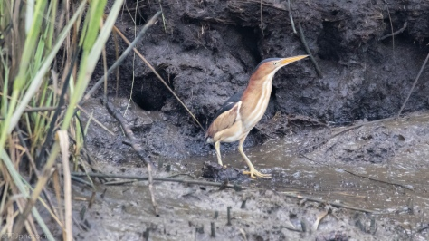 Least Bittern, Finally - click to enlarge