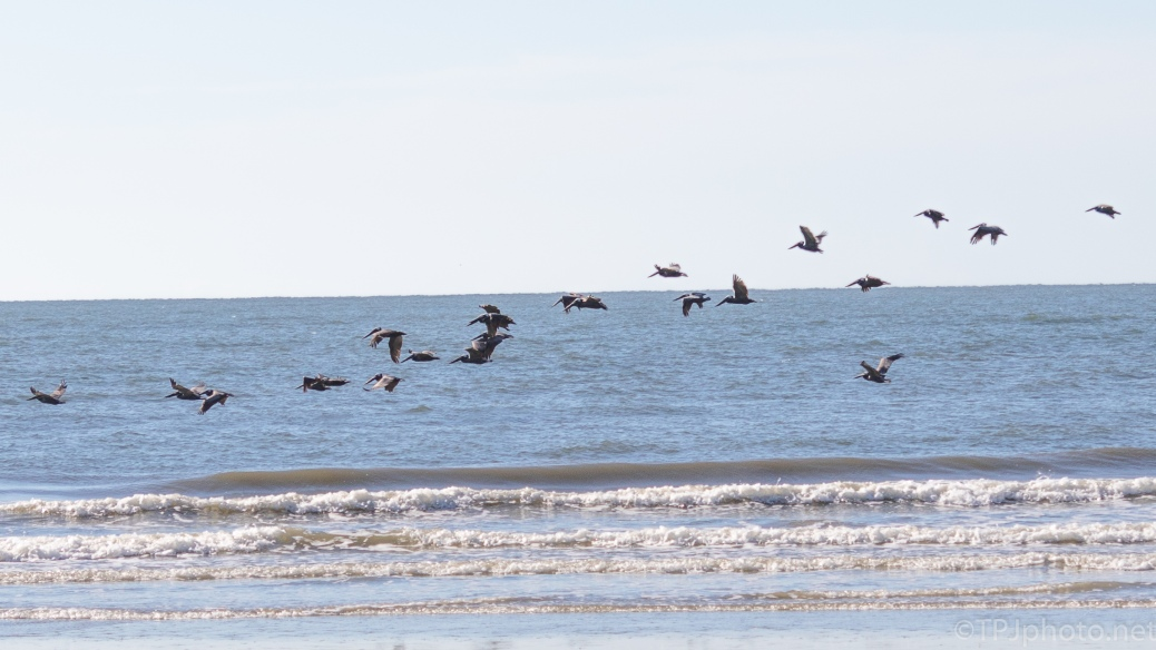Bunch A Pelicans - click to enlarge
