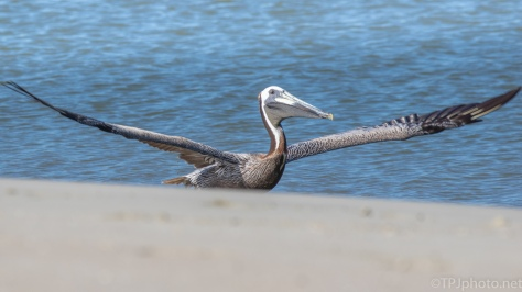 Jumping Up from The Shore, Pelican - click to enlarge