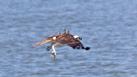 Osprey Won This Time - click to enlarge