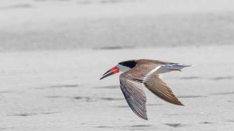 Skimmer Taking A Short Cut - click to enlarge