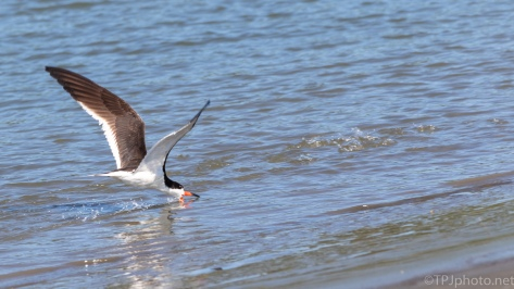 Skimmer On The Shore - click to enlarge