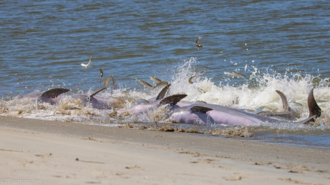 A Dolphin Strand Feeding - click to enlarge