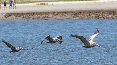 Pelicans Flying Through An Inlet - click to enlarge