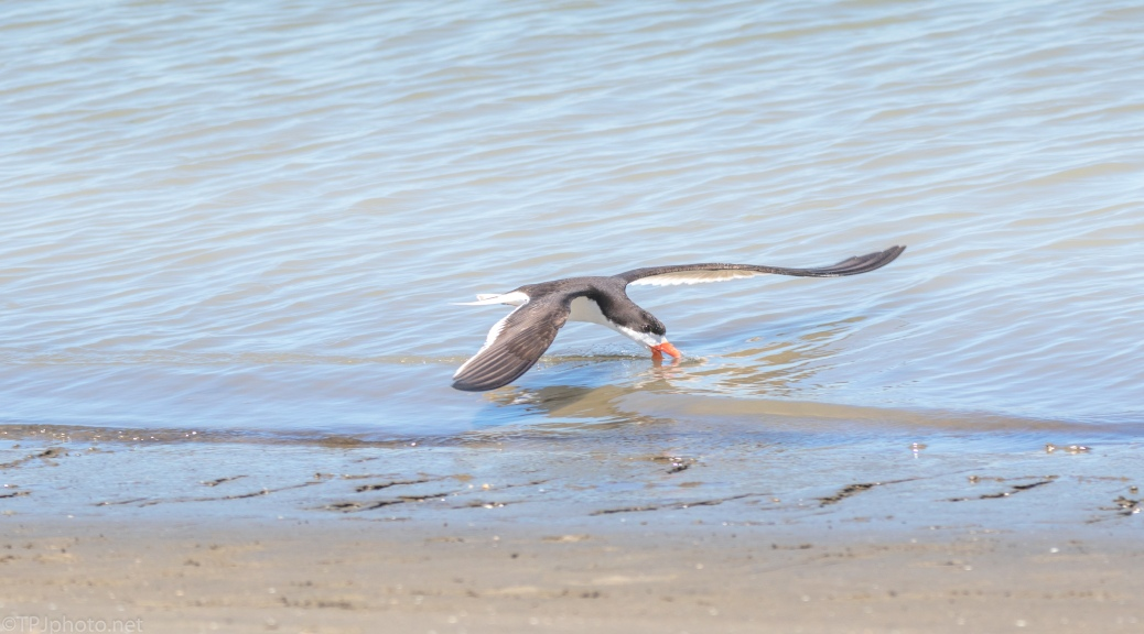 Black Skimmer As He Flew By Hunting - click to enlarge