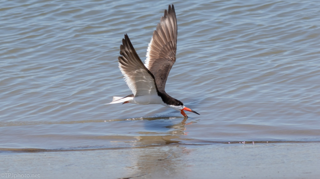 Black Skimmer Ignoring Me - click to enlarge