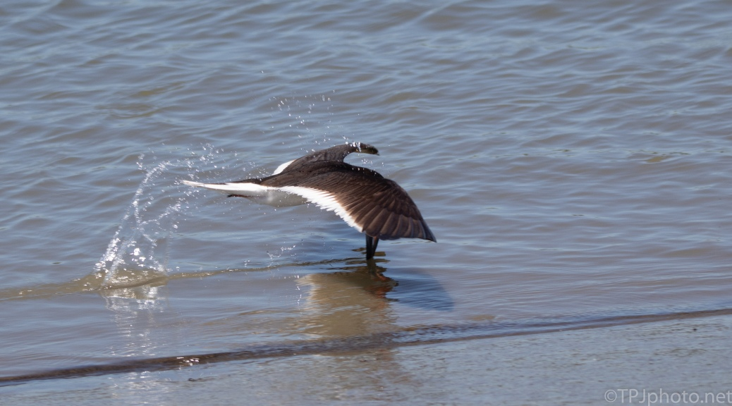 Skimmer Makes A Grab And Keeps Going - click to enlarge