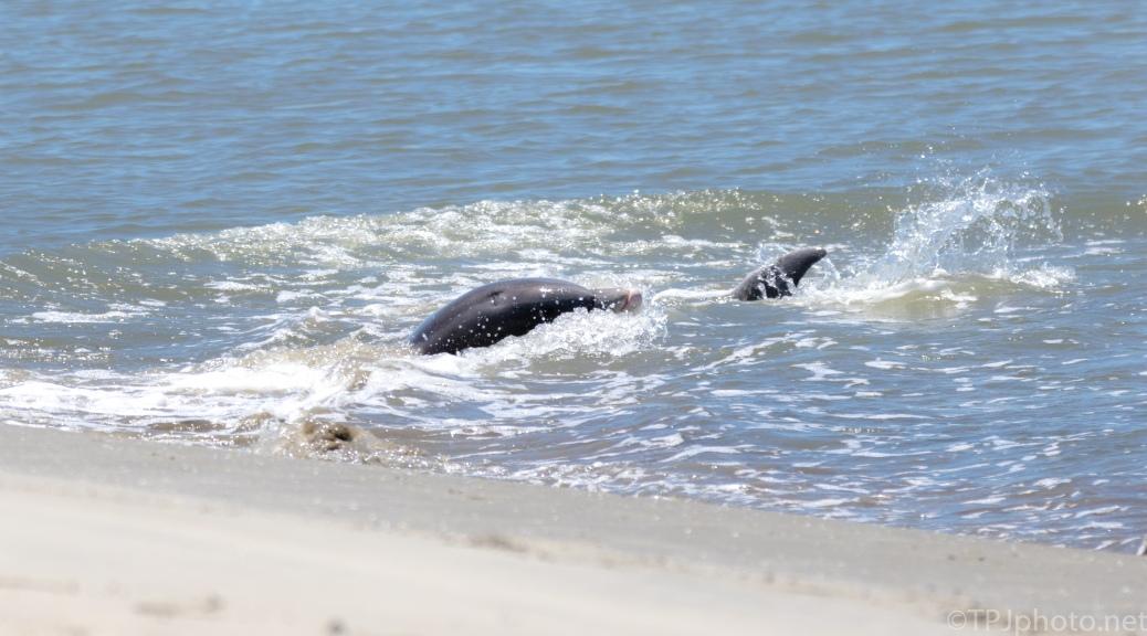 Dolphin Strand Feeding, Worst Kept Secret - click to enlarge