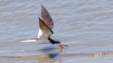 Skimming On The Shore - click to enlarge