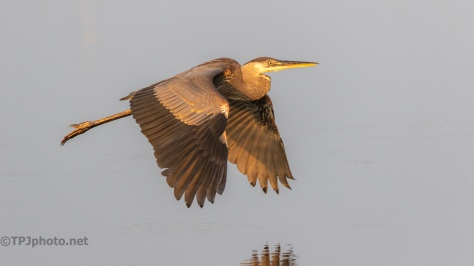Heron In The Golden Hour - click to enlarge
