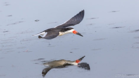 Skimmer In A Marsh - click to enlarge