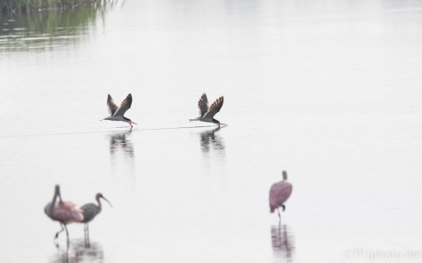 Skimmers On A Peaceful Morning - click to enlarge