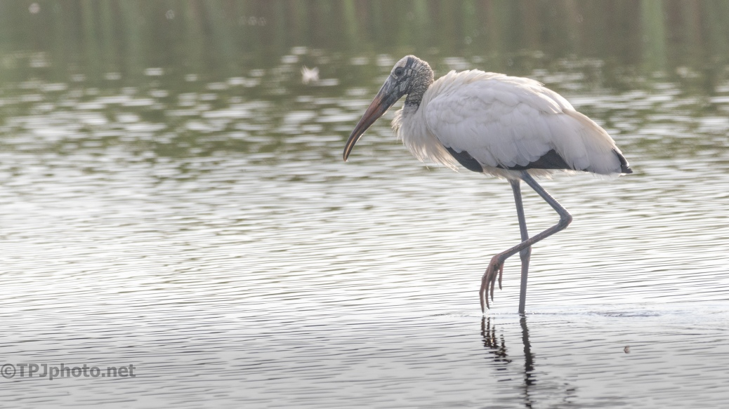 The Old Man Of The Marsh, Wood Stork - click to enlarge
