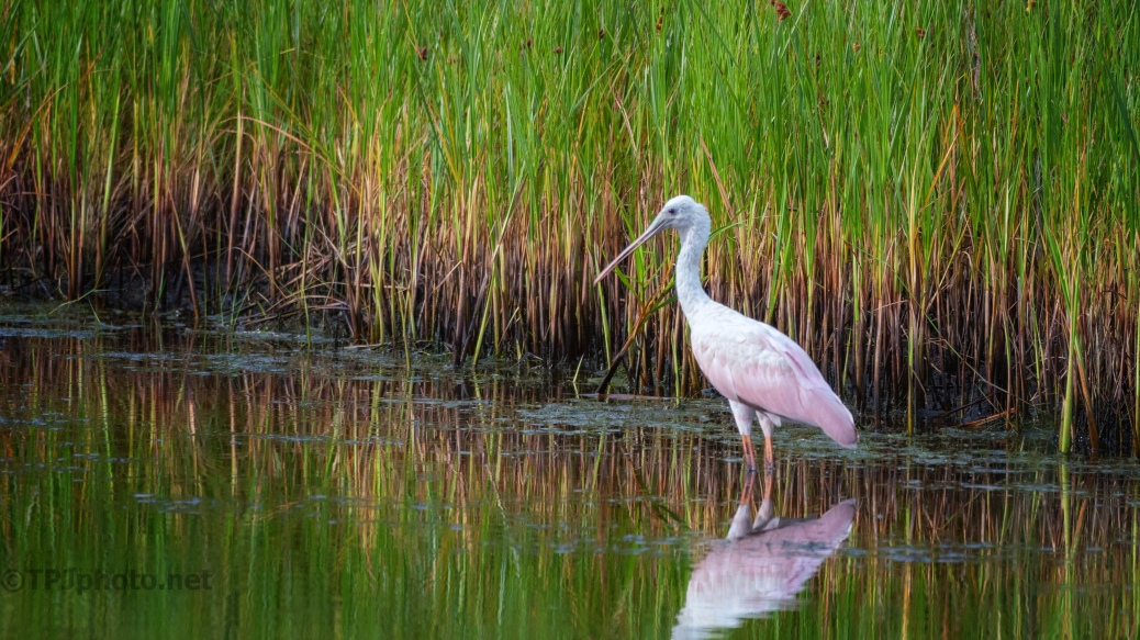 Spoonbill By Marsh Grass - click to enlarge