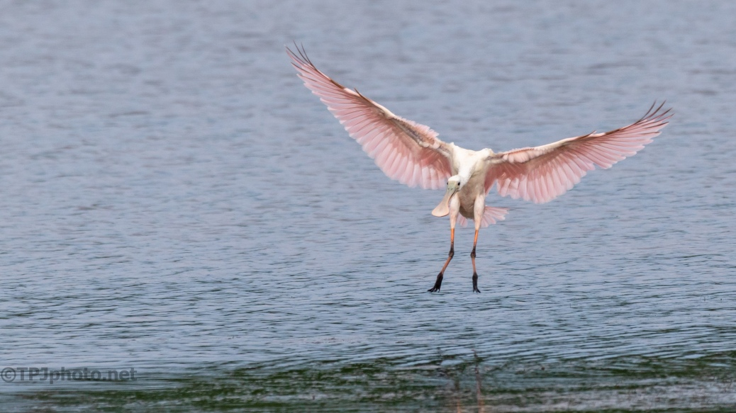 Quickly Fishing, Spoonbill - click to enlarge