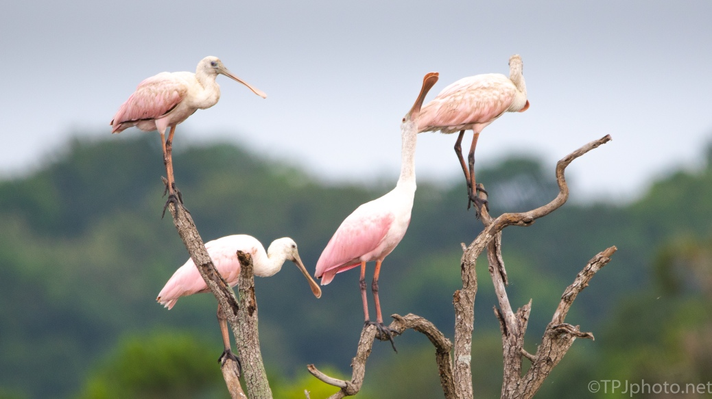 Taking A Break, Spoonbills - click to enlarge