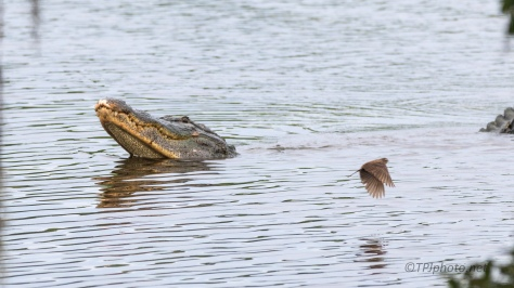 Alligator Profiling, Making A Statement (#2) - click to enlarge