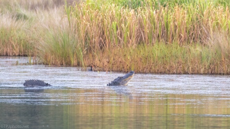 Alligator Profiling, Making A Statement - click to enlarge
