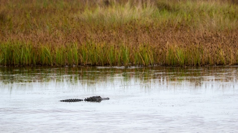 Alligator Profiling, Making A Statement (#3) - click to enlarge