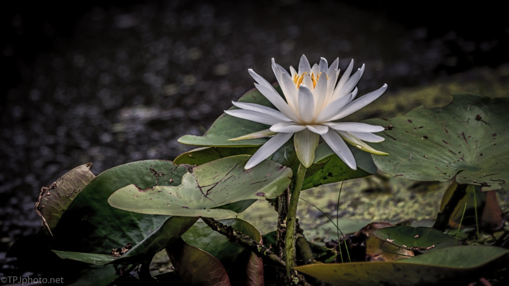 Water Lily - click to enlarge