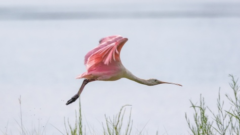 They Have A Style All Their Own, Spoonbill - click to enlarge