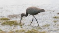 Glossy Ibis In The Marsh Shallows - click to enlarge