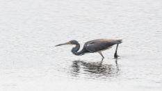 The One That Got Away, Tricolored Heron - click to enlarge