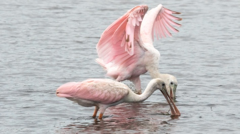 Pushy Spoonbill - click to enlarge