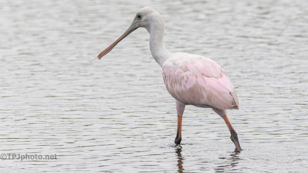 Young Spoonbill Cloudy Day - click to enlarge