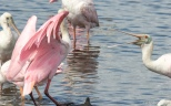 Disagreement, Pushing, And Shoving, Spoonbill - click to enlarge