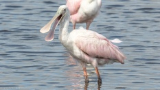 Talking To Me, Spoonbill - click to enlarge