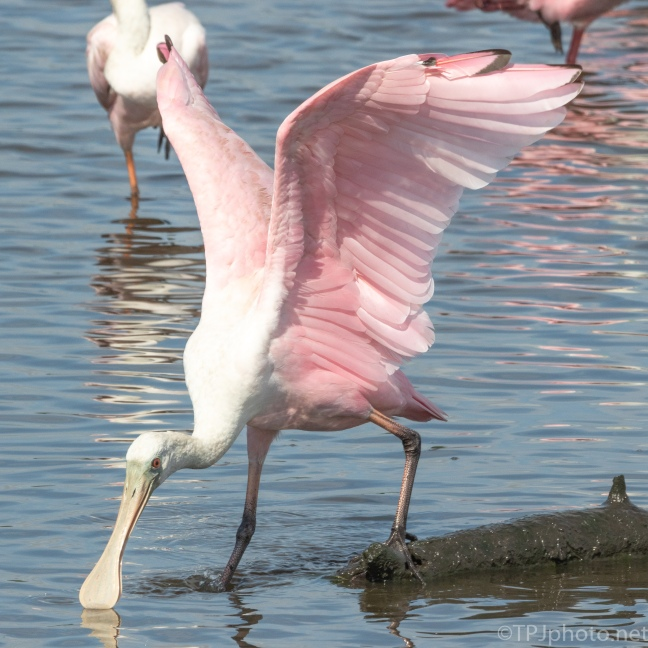 Spoonbill, Pink Wings - click to enlarge
