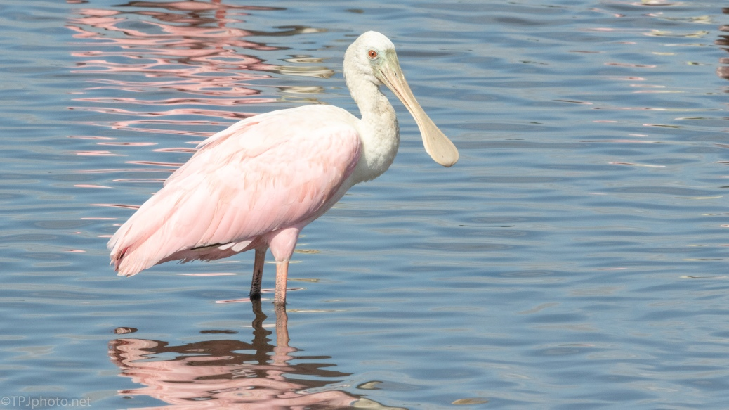 Roseate Spoonbill - click to enlarge