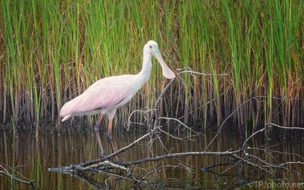 Spoonbill In A Great Pose - click to enlarge