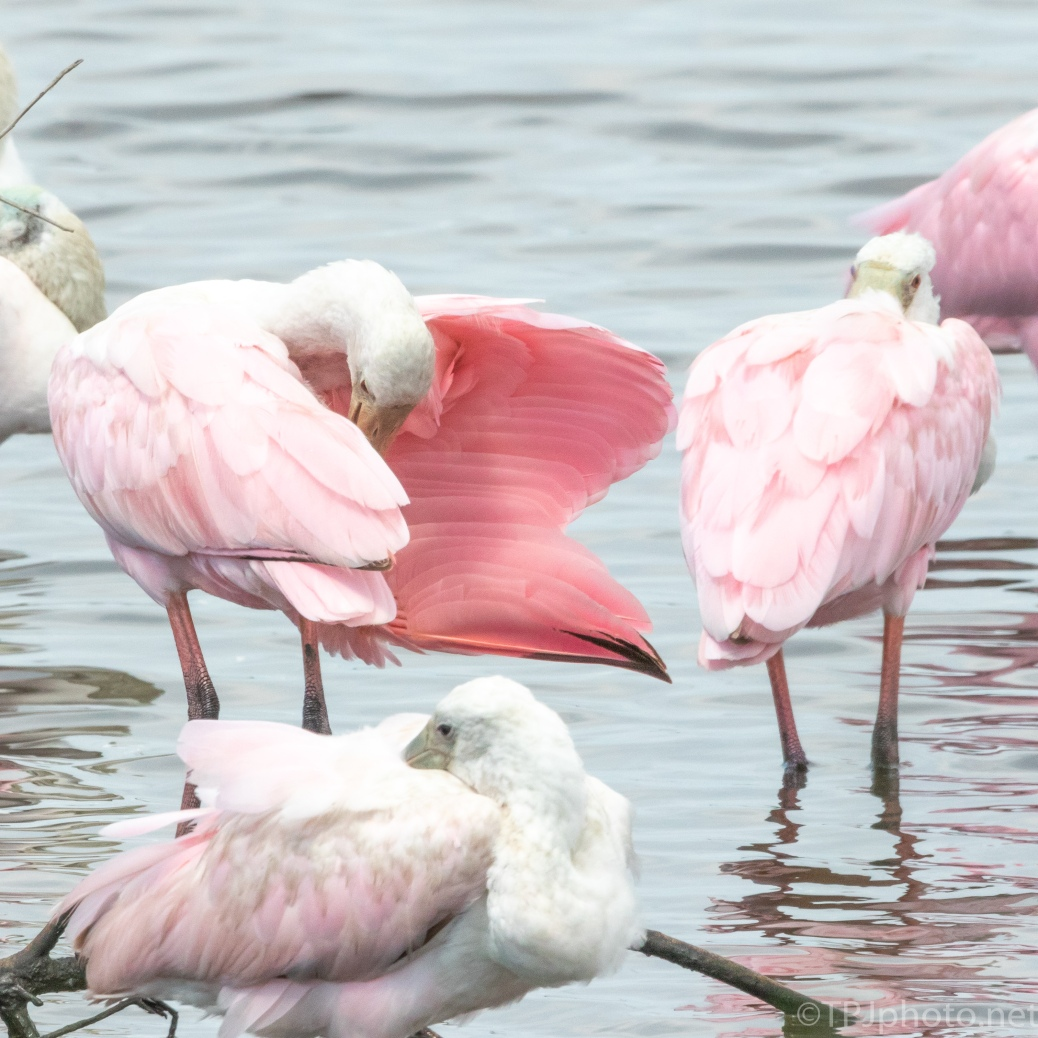 Pink In A Crown, Spoonbill - click to enlarge