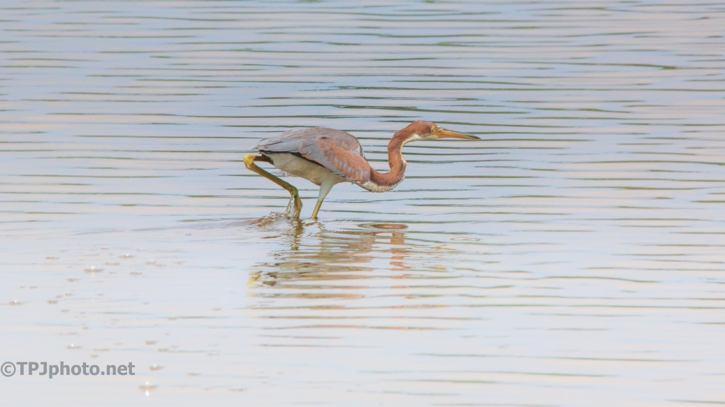 Tricolored Heron, Being Overly Dramatic As Usual - click to enlarge