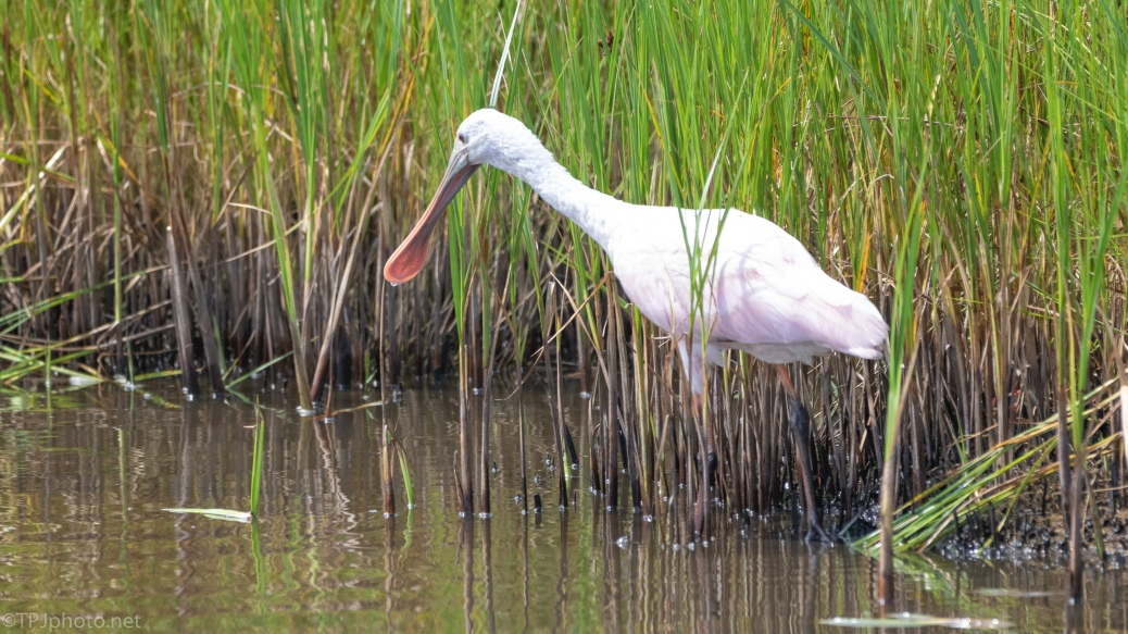 Spoonbill In The Marsh Grass - click to enlarge