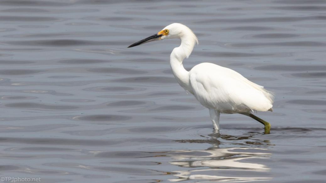 Snowy Egret Walking Around - click to enlarge