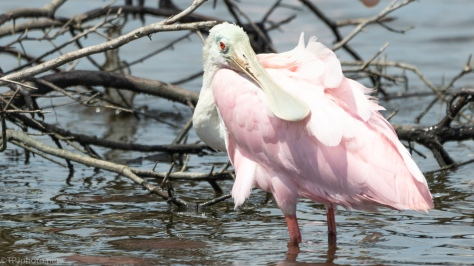 Roseate Spoonbill, Juvenile - click to enlarge