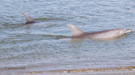 Checking The Shore, Dolphins - click to enlarge