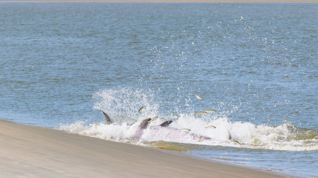 The Explosion Of Fish, Dolphins - click to enlarge