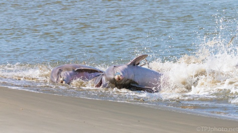 Fishing, Dolphin Style - click to enlarge