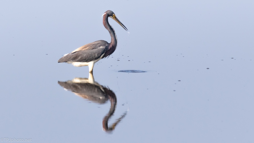 Drops Of Water, Tricolored Heron - click to enlarge