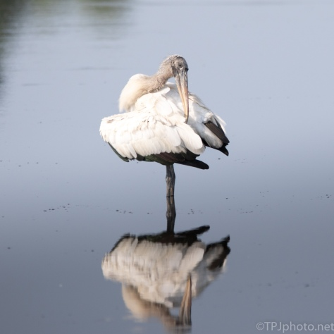 Ballerina, Wood Stork - click to enlarge