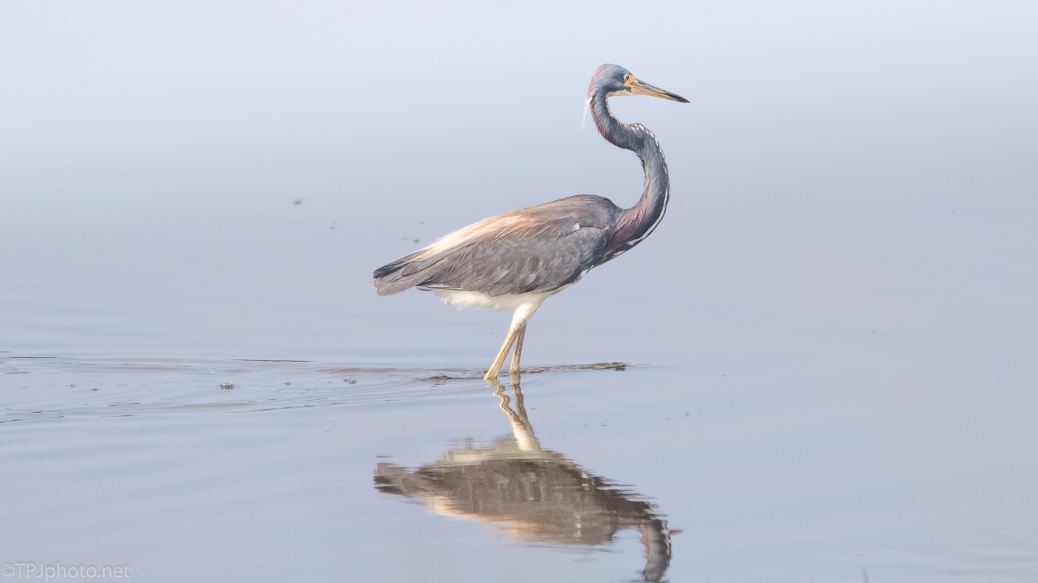 Impressive Looking Tricolored Heron - click to enlarge