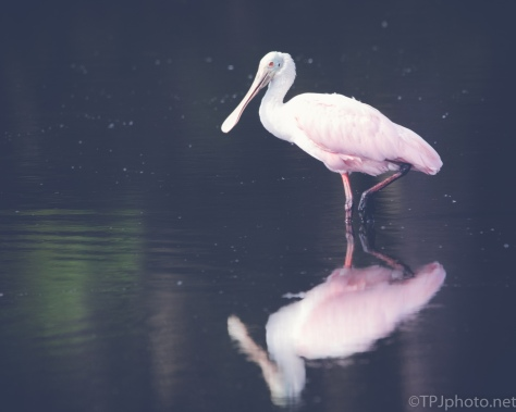 Adult Spoonbill - click to enlarge