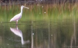 Spoonbill Walking And Talking - click to enlarge