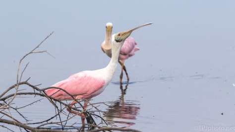 Spoonbill Conversation - click to enlarge